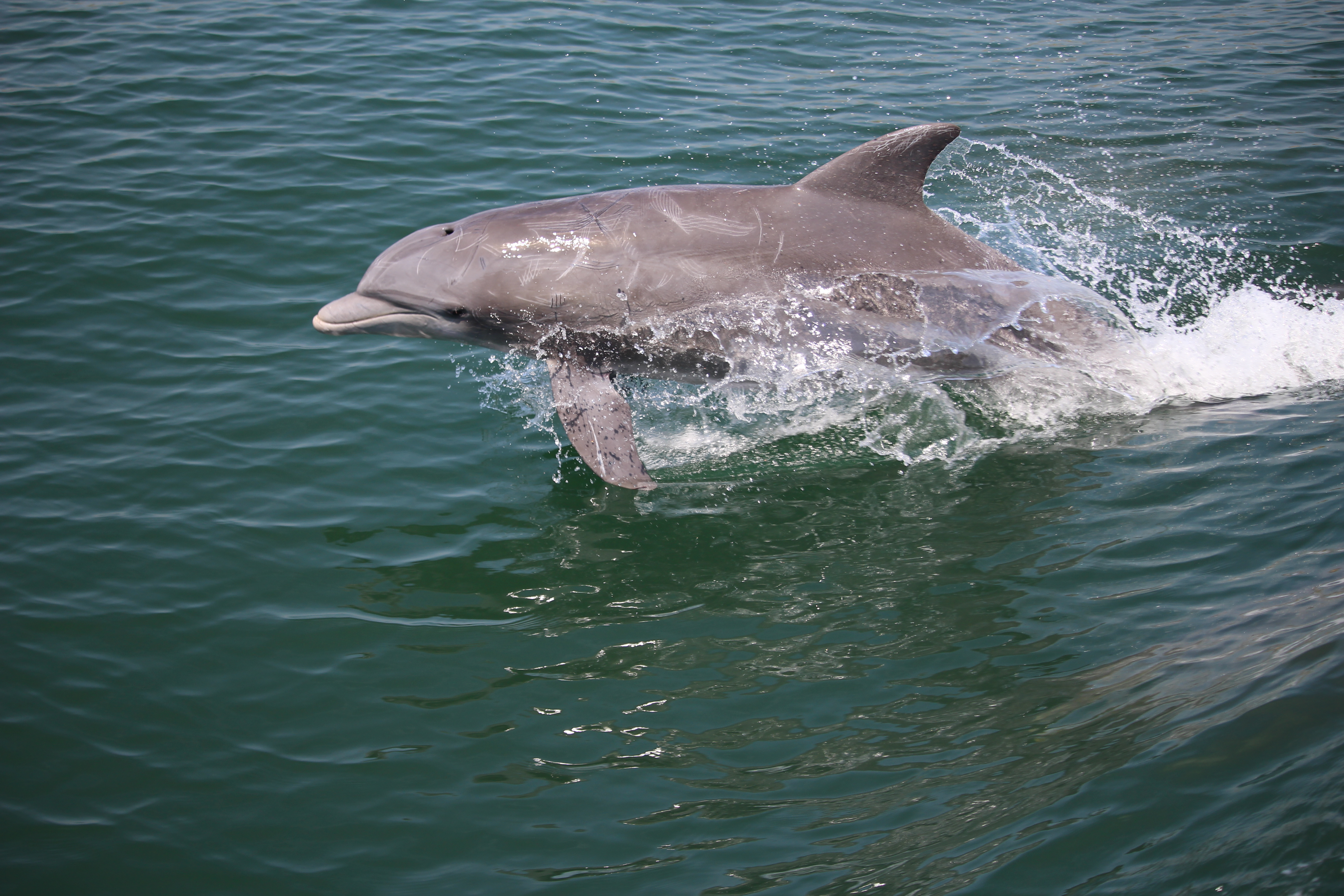 Dolphin leaping out of water