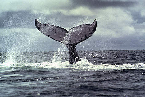 Whale Flipping Tail